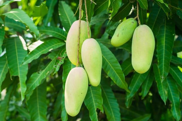 Eine menge fünf mango am baum im garten.