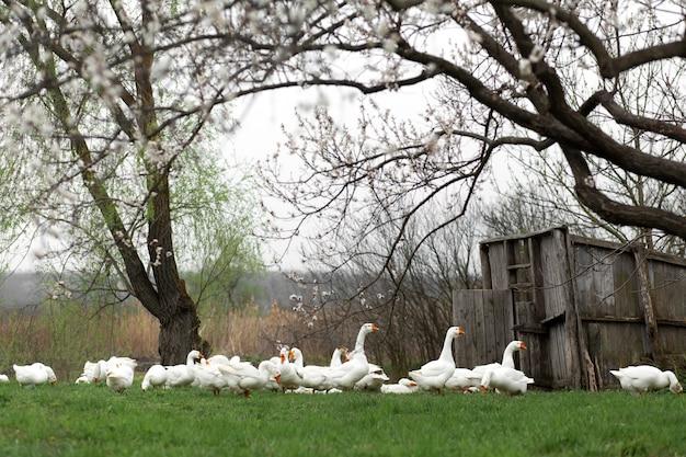 Eine menge von weißen gänsen gehen im frühjahr in das dorf auf dem rasen mit frischem grünem gras vor dem hintergrund eines blühenden baums