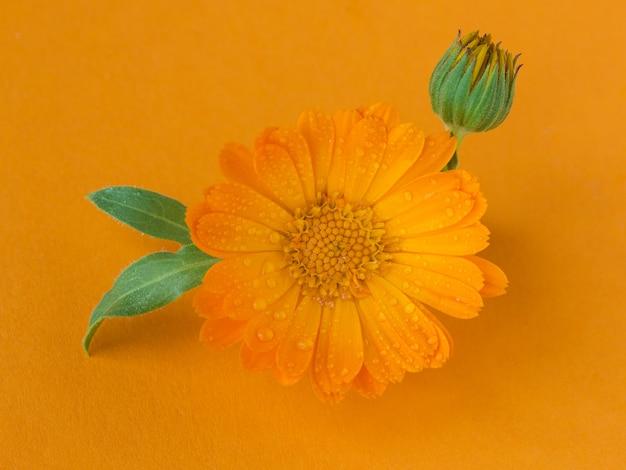 Eine nahaufnahme der blume der ringelblume des heilkräutertopfes, calendula officinalis auf orange