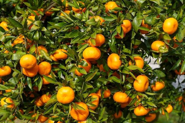 Eine nahaufnahme der köstlichen frischen orangen in einem baum