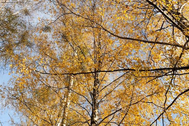 Eine nahaufnahme der zweige und der orangefarbenen birkenblätter im herbst.