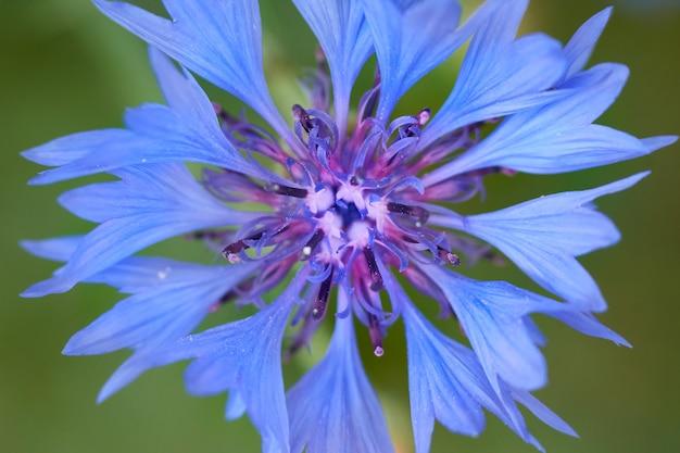 Eine nahaufnahme einer blauen kornblume auf einem unscharfen hintergrund