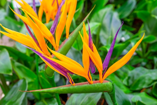 Eine nahaufnahme einer blühenden immergrünen exotischen pflanze strelitzia. selektiver fokus, unscharfer hintergrund.