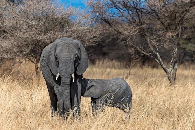 Eine nahaufnahme einer elefantenmutter, die das baby füttert