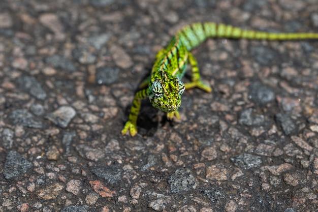Eine nahaufnahme eines grünen chamäleons auf der straße