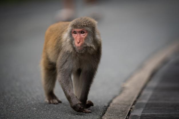 Eine nahaufnahme eines japanischen makaken auf der straße