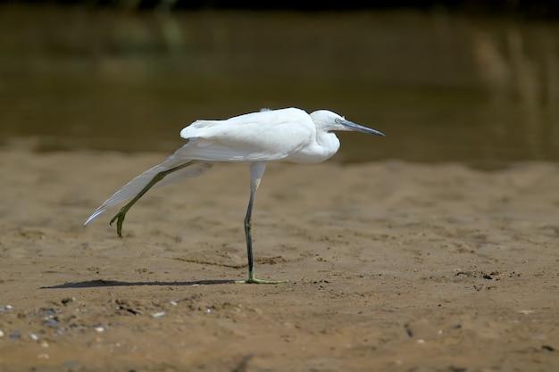 Eine nahaufnahme eines kleinen weißen reihers steht an einem sandigen ufer mit einem verlängerten hals und offenen flügeln