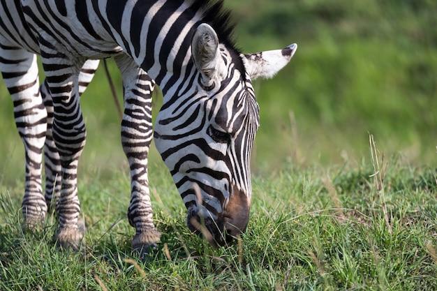 Eine nahaufnahme eines zebras in einem nationalpark