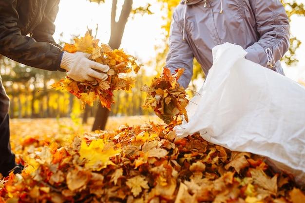 Eine nahaufnahme von ein paar freiwilligen, die gefallene gelbe blätter in einem sack sammeln. leute säubern laub im park.