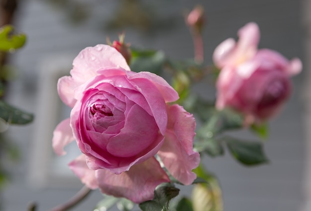 Eine nahaufnahme von schönen rosa rosen, sommerhintergrund