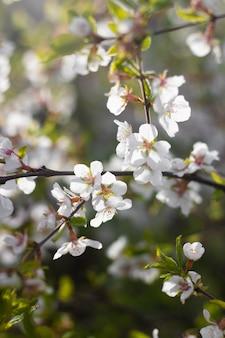 Eine niederlassung eines blühenden kirschbusches. blühende pflanze. weiße blumen. frühlingsbusch.