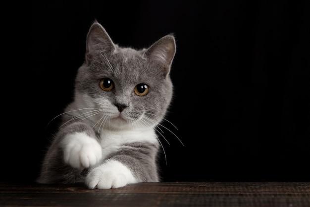 Eine niedliche graue katze an einer dunklen wand. verspieltes flauschiges haustier.