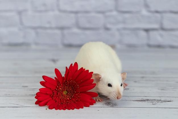 Eine niedliche und lustige weiße dekorative kleine ratte sitzt neben einer roten gerberablume. nagetier-nahaufnahme auf einem hintergrund einer weißen backsteinmauer.
