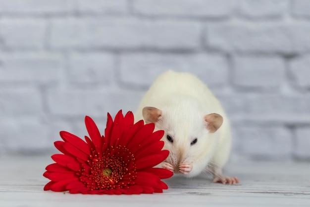 Eine niedliche und lustige weiße dekorative kleine ratte sitzt neben einer roten gerberablume.