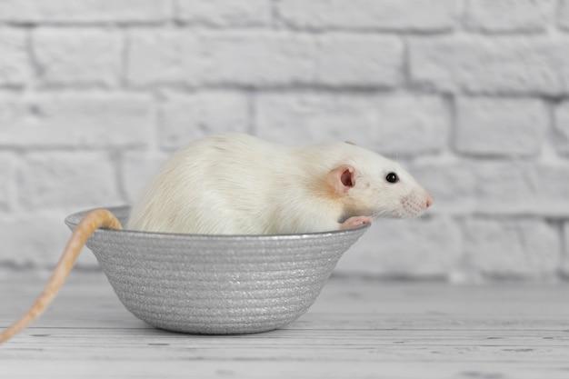 Eine niedliche weiße dekorative ratte sitzt auf einem grauen teller. nahaufnahmeporträt eines nagetiers auf einem weißen hintergrund.
