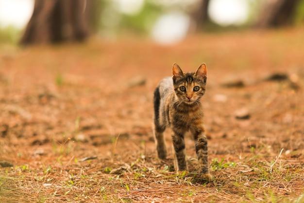 Eine obdachlose katze, die nahrung in den wald sucht, wildes tier, das in den wald geht