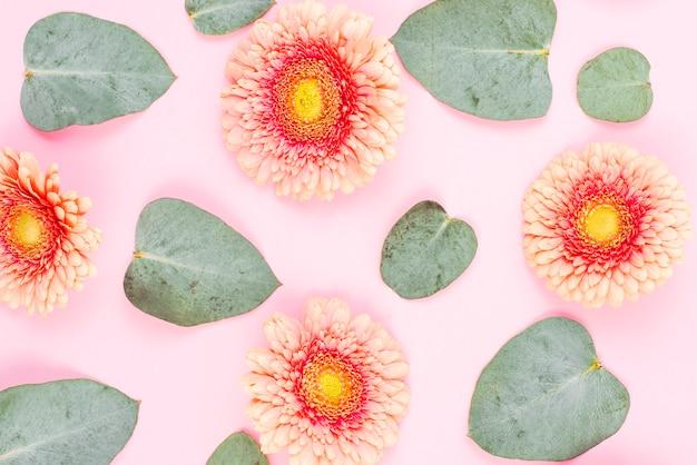 Eine obenliegende ansicht der gerberablume und der grünblätter auf rosa hintergrund