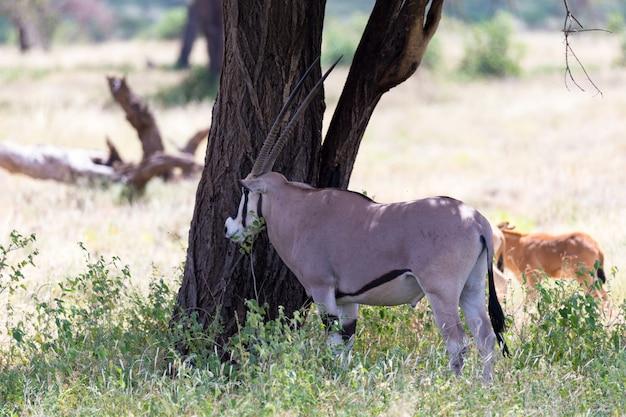 Eine oryx-familie im grasland der kenianischen savanne