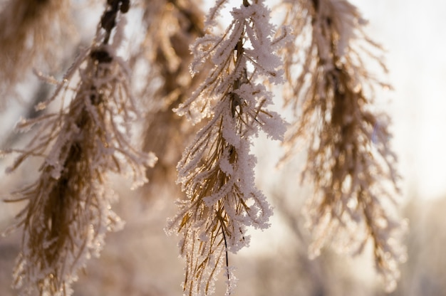 Eine pelzbaumniederlassung im hintergrund eines waldes bedeckt mit schnee, winter