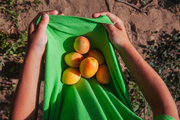 Eine person, die aprikose in seiner draufsicht des hemdes hält.