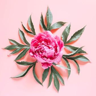 Eine pfingstrosenblume in voller blüte leuchtende rosa farbe und blätter isoliert auf blassrosa oberfläche