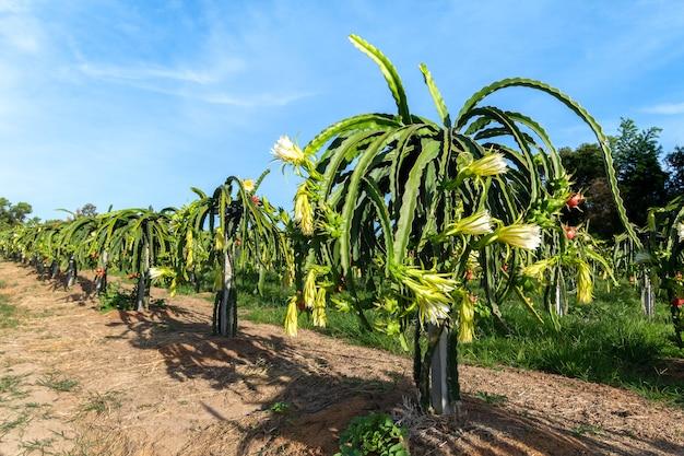 Eine pitaya oder pitahaya ist eine beliebte plantage in südostasien