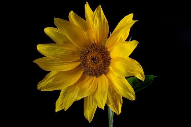 Eine reife sonnenblume mit gelben blütenblättern und dunkler mitte auf schwarzem hintergrund.