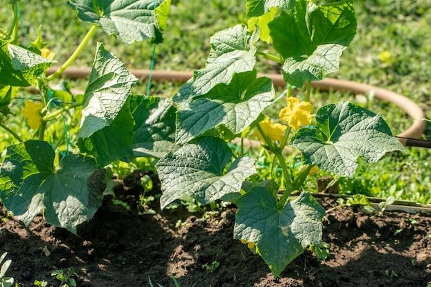 Eine reihe grüner gurkenpflanzen. gurken wachsen im freien. gemüse