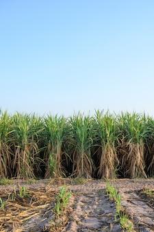 Eine reihe zuckerrohrpflanze bei sonnenaufgang