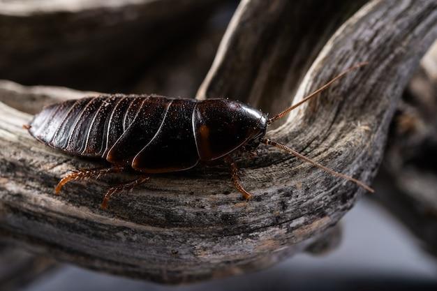 Eine riesige kakerlake kriecht auf einem dicken holzast auf einer grauen oberfläche