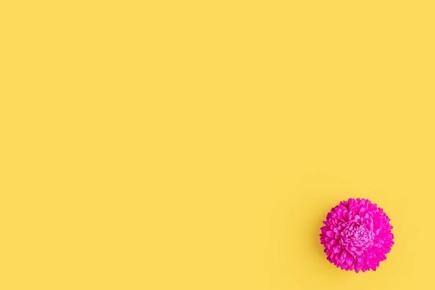Eine rosa frische asterblume auf gelbem hintergrund. minimalismus. frühlingsblumenzusammensetzung. romantisch, valentinstag, frauen, muttertag oder hochzeitskonzept. flache lage, ansicht von oben, kopienraum.