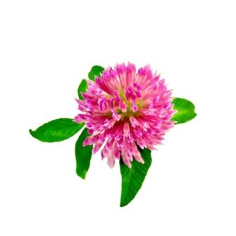 Eine rosa kleeblume mit grünen blättern auf weißem hintergrund