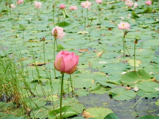Eine rosa lotusknospe, die auf see blüht. schöne sommerlandschaft
