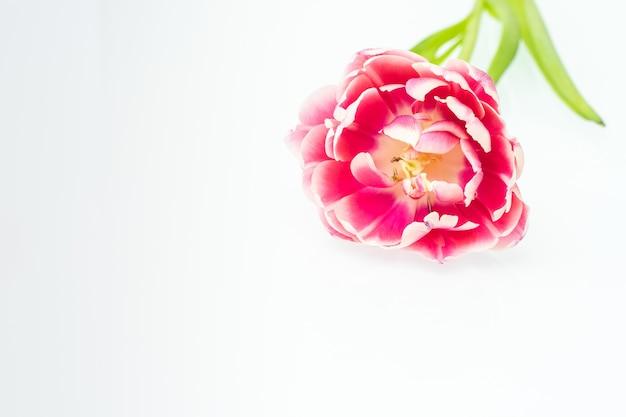 Eine rosa tulpe auf hellem hintergrund, mock-up für design, kopienraum