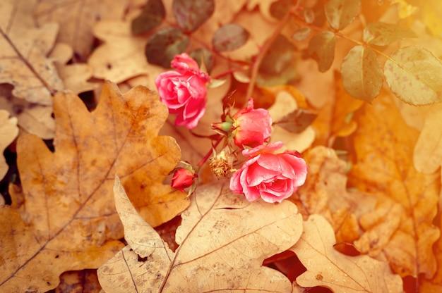 Eine rosafarbene gartenrosenblume in voller blüte auf gefallenen orangefarbenen eichenblättern im herbst. aufflackern