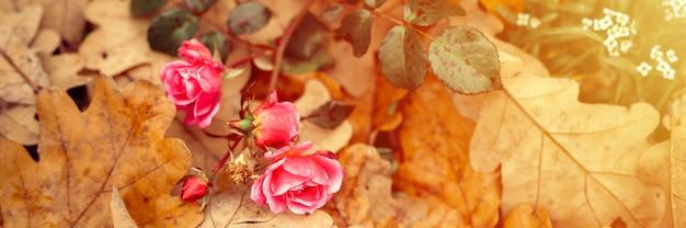 Eine rosafarbene gartenrosenblume in voller blüte auf gefallenen orangefarbenen eichenblättern im herbst. banner. aufflackern