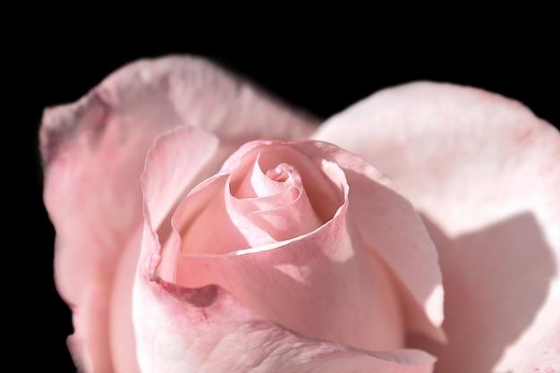 Eine rose über dunklem hintergrund mit einem weichen licht