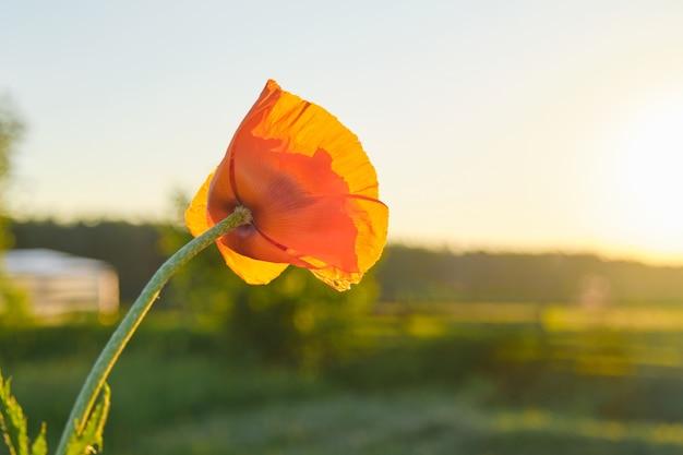 Eine rote mohnblume, grüne hintergrundnatur, himmel, sonnenuntergang, goldene stunde, kopienraum
