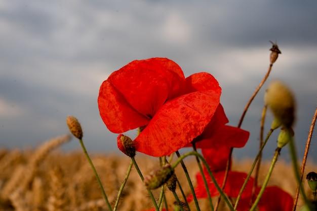 Eine rote mohnblume im feld gegen bewölkten himmel