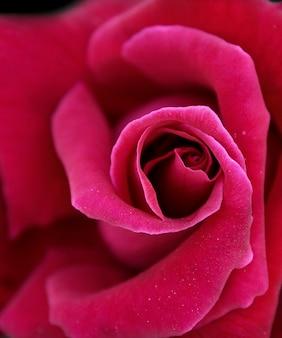Eine rote rose nahaufnahme