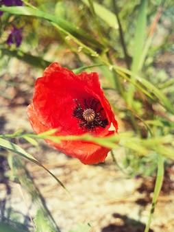 Eine rote wilde mohnblume in einem feldabschluß oben.