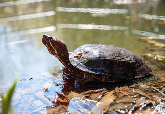 Eine rotohrschildkröte in einem teich sonnt sich an einem sonnigen sommertag in der sonne