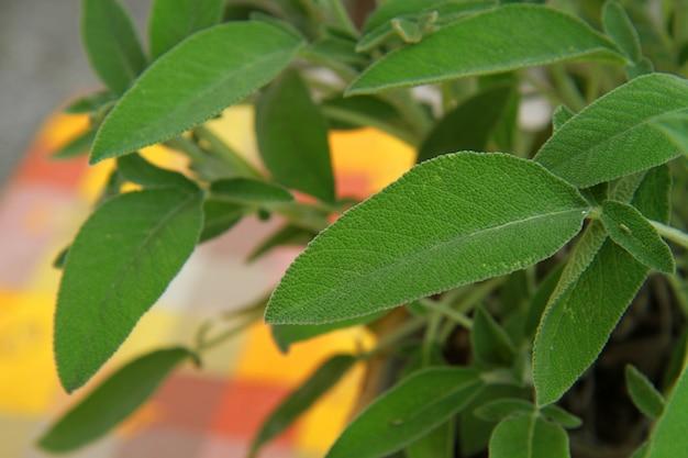 Eine salbeipflanze