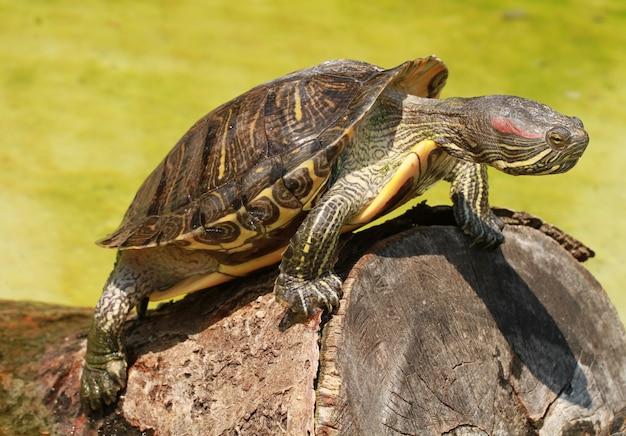 Eine schildkröte auf dem holz