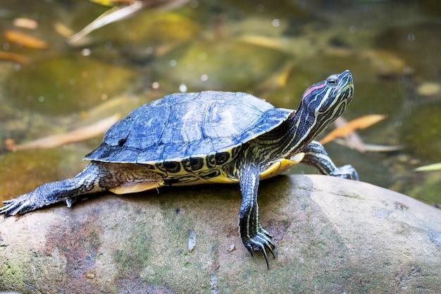 Eine schildkröte mit erhobenem kopf auf steinen in der nähe des flusses