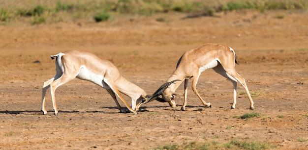 Eine schlacht von zwei grant gazellen in der savanne von kenia