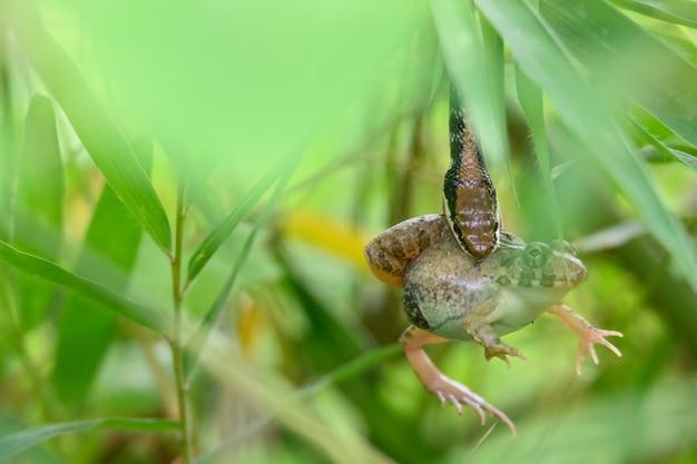 Eine schlange frisst einen frosch, das ist ein naturgesetz. große tiere fressen kleine tiere