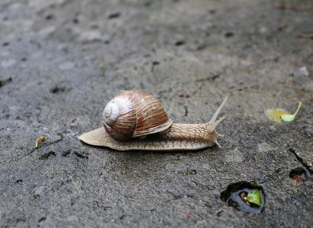 Eine schnecke mit einer schale kriecht auf einer asphaltoberfläche
