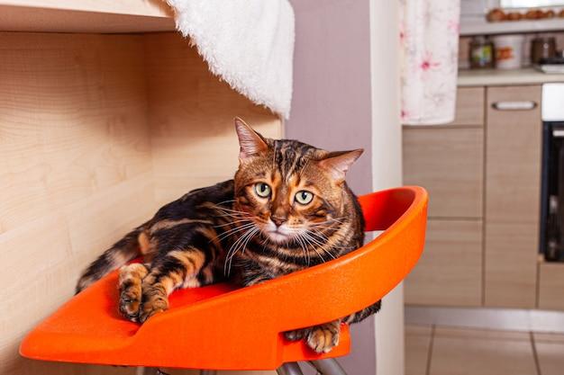 Eine schöne bengalkatze liegt auf einem orangefarbenen barhocker