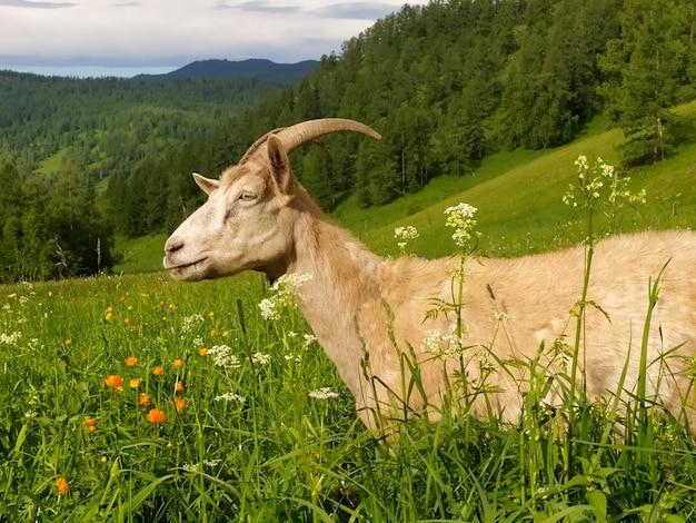 Eine schöne gehörnte ziege stirbt im sommer auf grünem gras vor dem hintergrund des altai-gebirges. handyfoto.